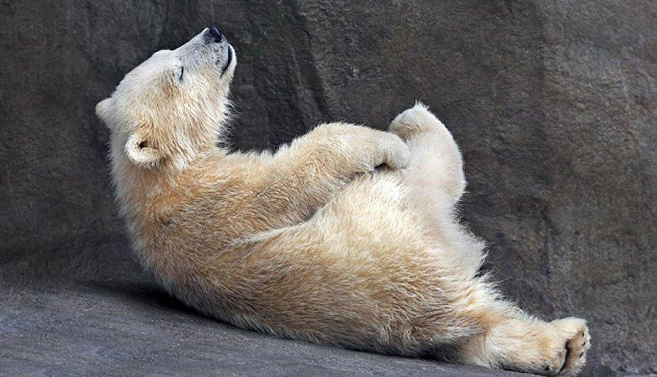 FOTOS: Vea a un oso polar haciendo yoga