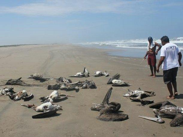 Trujillo: Hallan 61 aves, dos delfines y un lobo marino muertos en playas