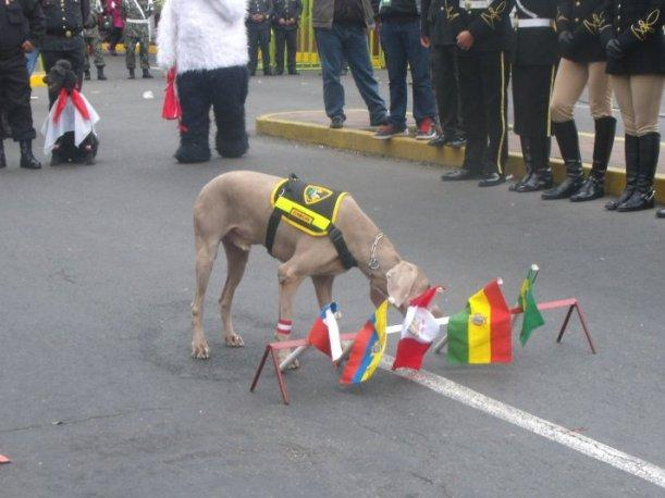 Vea las sorprendentes habilidades de la brigada canina de la Polic&iacute;a Nacional (VIDEO)