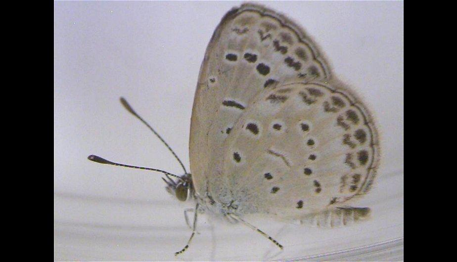 Jap&oacute;n: Descubren mutaciones en mariposas cerca de planta nuclear de Fukushima (FOTOS)