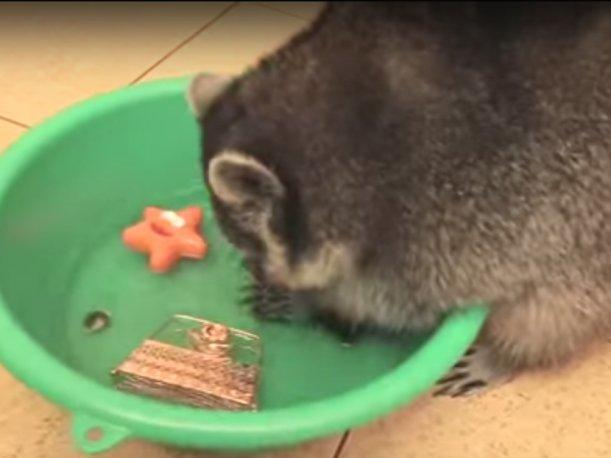 YouTube Raccoon washes everything and fascinates internet users