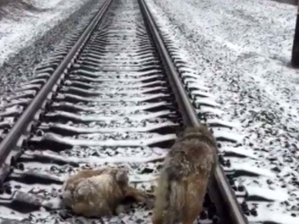 Facebook Dog spends 2 days on frozen rail-tracks trying to save injured pal