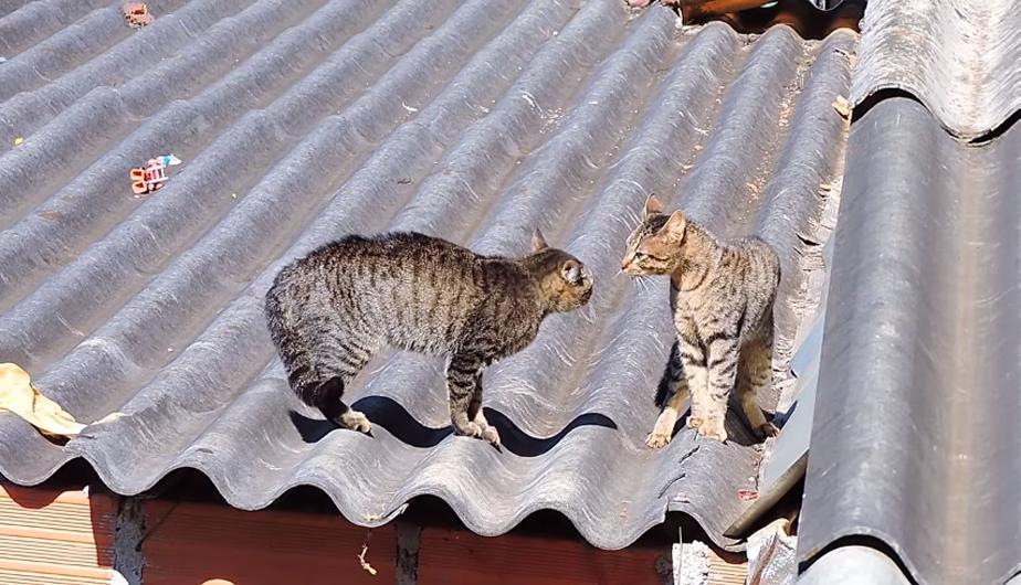 YouTube Video Viral: dos gatos se pelearon y todo fue presenciado por un invitado inusual. (foto: Nature Go)